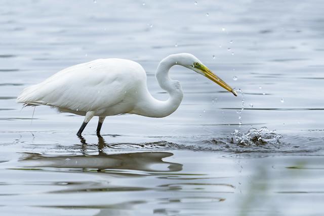Gret Egret