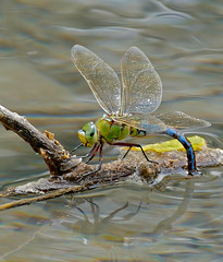 Emperor Dragonfly (Anax imperator) female laying eggs ...