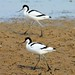 Small photo of Strolling Avocets