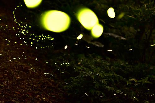 翠湖-螢火蟲