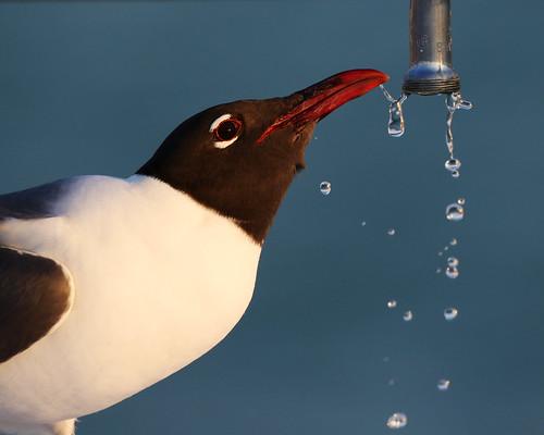 bird gull laugh drinking water ft desoto