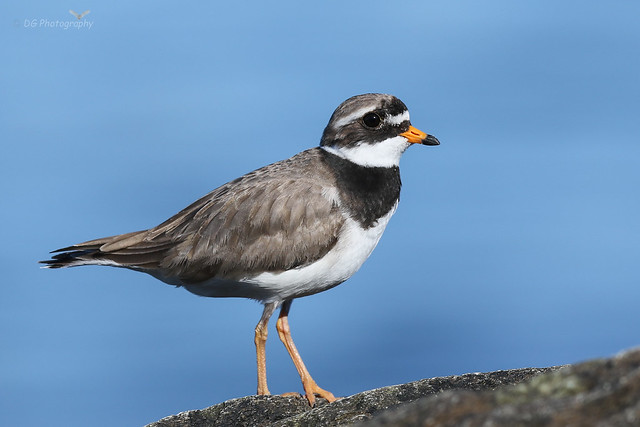 Ringed Plover, Canon EOS 7D MARK II, Canon EF 400mm f/2.8L IS II USM