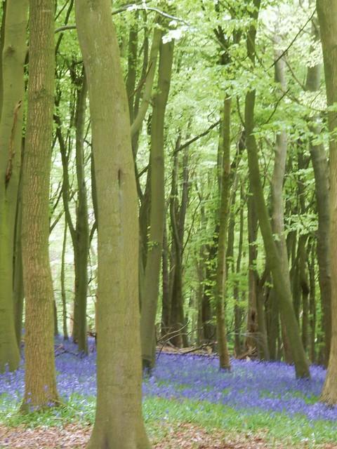 Bluebell wood near paddock, Nikon COOLPIX S9700