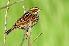 savannah sparrow at BARC