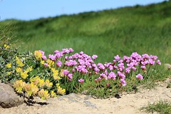 Cliff top flowers