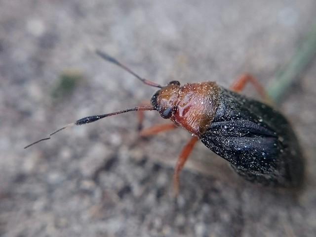 Capsus ater - fekete mezeipoloska