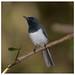 Leaden Flycatcher (Myiagra rubecula) (15 centimetres) (adult male)