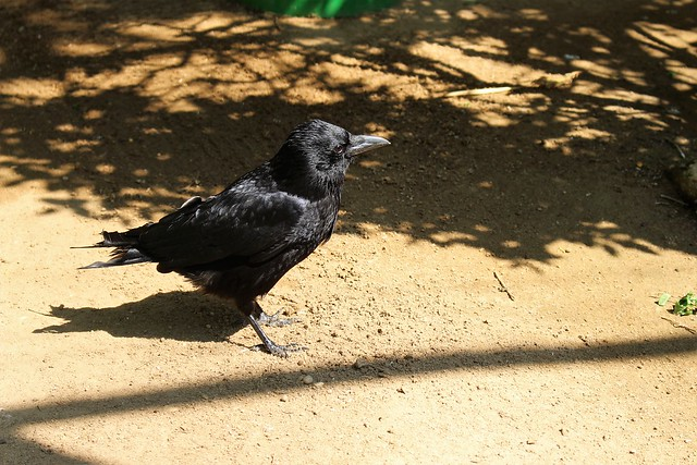 Corvus corone, la corneille noire.