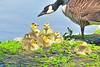 Canada Goose And Goslings 17-0430-2340 by digitalmarbles