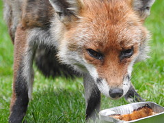3rd  may 2017 Foxes 033