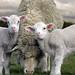 Karl Nightingale - Hill Cove - Pet Sheep by FalklandsGov