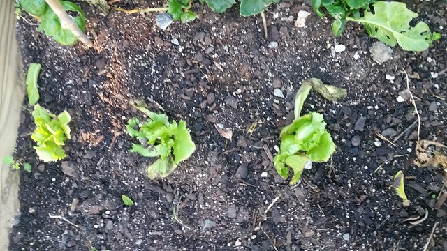 Lettuce between two rows of carrots