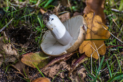 Fungi, mushroom