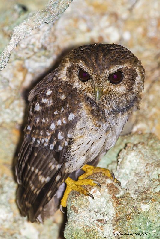 Autillo Cubano, Cuban Bare-legged Owl-Margarobyas lawrencii-