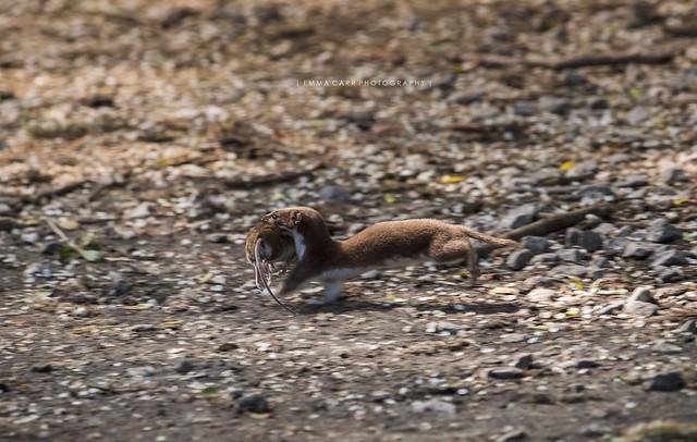 Weasel and lunch!, Nikon D810, AF-S Nikkor 200-500mm f/5.6E ED VR