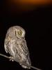 Scops Owl (Otus scops) by piazzi1969
