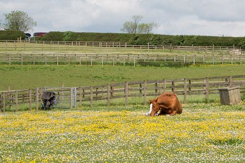 Horse in Buttercup and Daisy Field