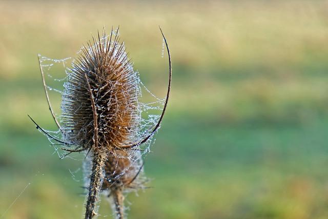 Dipsacus fullonum (Dipsacaceae)