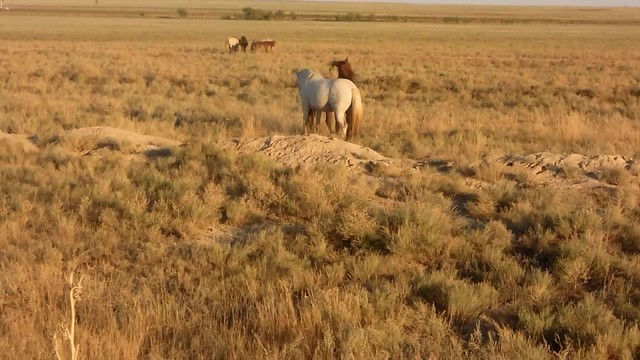 übermütige Pferde