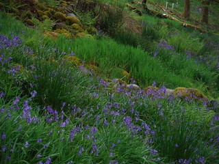 Bluebells in Abercrave Wood on Descent from Cribarth Plateau (Detail)