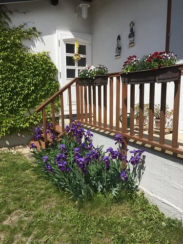 Schwertlilien - Iris