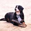 My beautiful girl, Azzie. #dogsofinstagram #bernesemountaindog #bernese_feature #thisismypack #happy