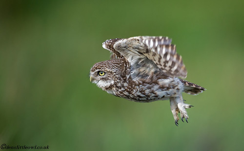 Little owl May 16th 2017 1 (1 of 1)-3