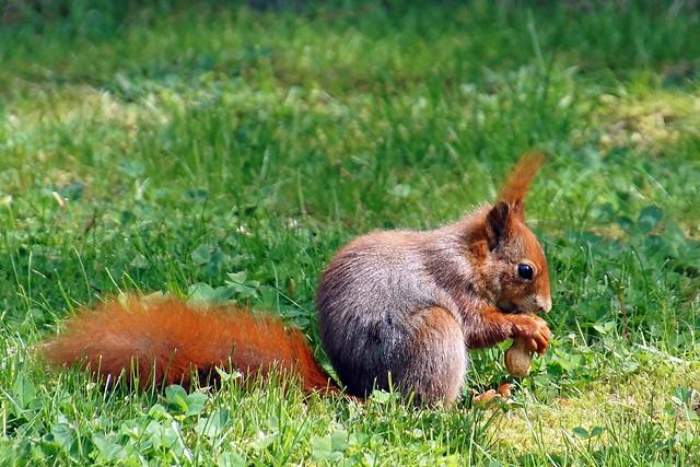 Eichhörnchen / squirrel, Sony ILCA-77M2, Tamron 16-300mm F3.5-6.3 Di II PZD