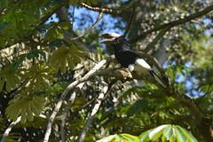 Entebbe, Uganda - Entebbe Botanical Gardens - Black and White Casqued Hornbill