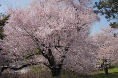 金, 2017-04-14 14:34 - New York Botanical Garden (Bronx)