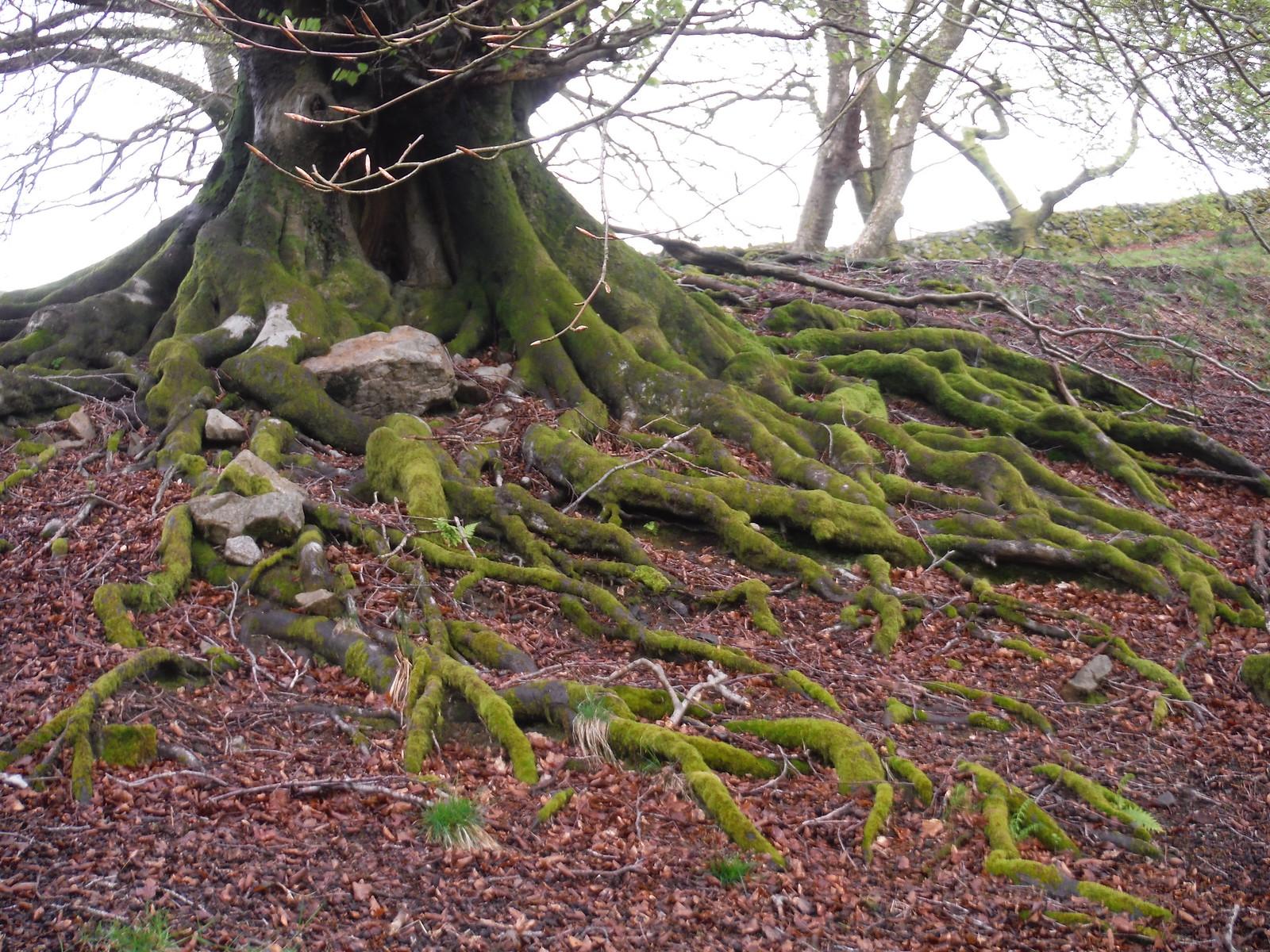 Tree Roots in Avbercrave Wood SWC Walk 280 Henrhyd Falls - Sgwd Henrhyd (Craig y Nos Circular) [Cribarth Plateau Start]