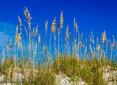 Sea Oats & Dune II @ Fort Morgan Beach, Gulf Shores, AL