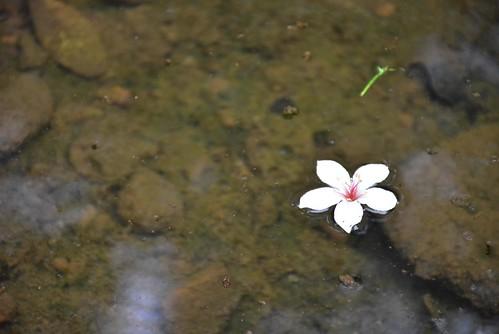 內溝山登山步道-翠湖-油桐花