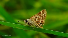 Grass Skipper!
