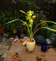 Cymbidium lowianum var. concolor species orchid, 1st bloom  4-17*