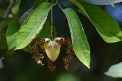 Entebbe, Uganda - Entebbe Botanical Gardens - Orchid Tree