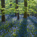 Bluebells,  Weeton Wood by axonsprout1