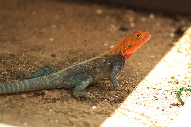 Red headed Rock Agama