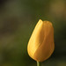 Tulip by laszlofromhalifax