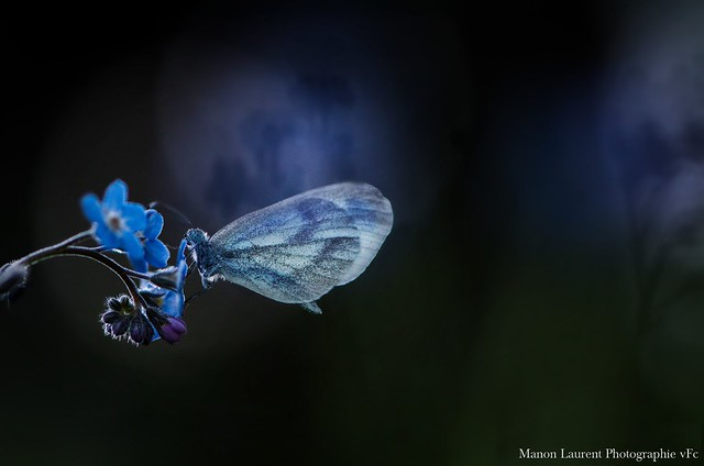 Myosotis + Papillon, Nikon D7000, AF-S VR Micro-Nikkor 105mm f/2.8G IF-ED