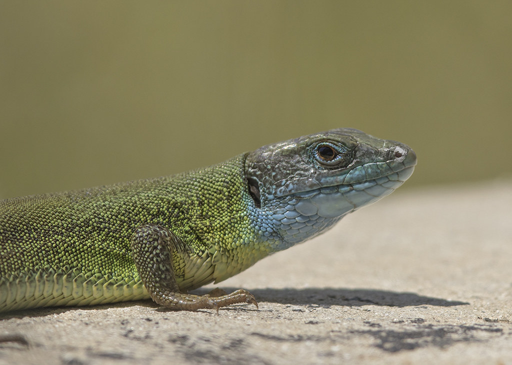 European Green Lizard  Lacerta viridis