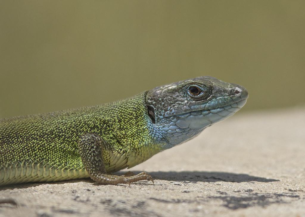 European Green Lizard Lacerta viridis