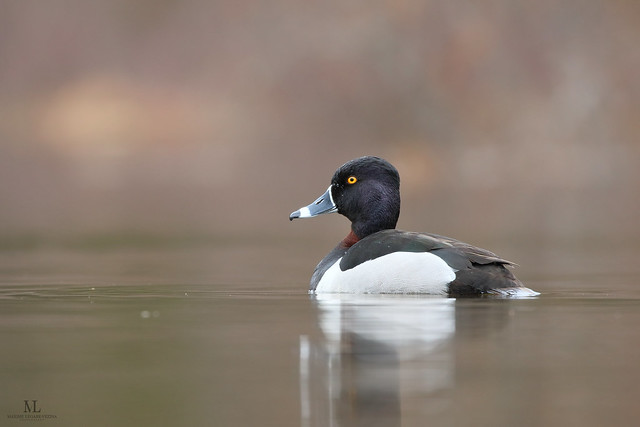 Ring-necked duck - Fuligule à collier - Aythya collaris ♂