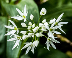 White wild garlic.