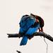 White Throated Kingfisher - Koladeo Reserve (Neil Pont)