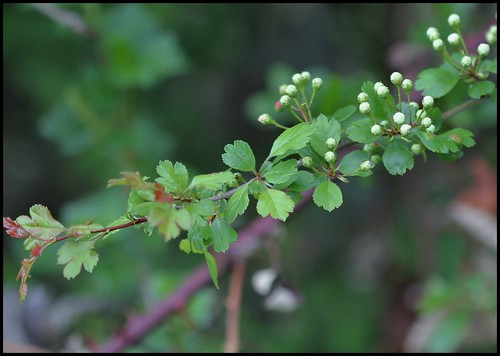 Crataegus laevigata (= C. oxyacantha) - aubépine à deux styles 33583872604_897452eee7