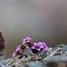 Purple Saxifrage (Robin Couchman)