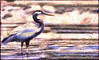 Great blue heron - Gran garza azul