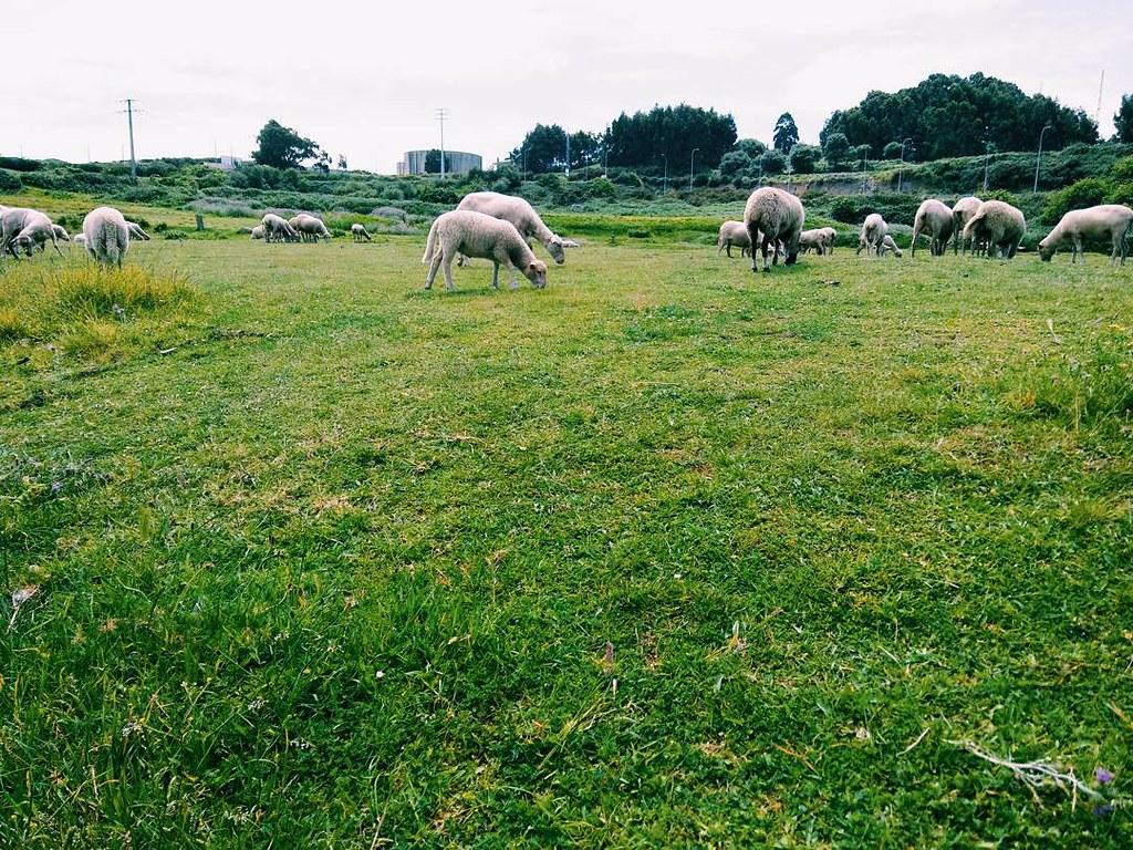 Peace. #sheeps #ovellas #pasto #Coruña #photography #urbannature #vsco