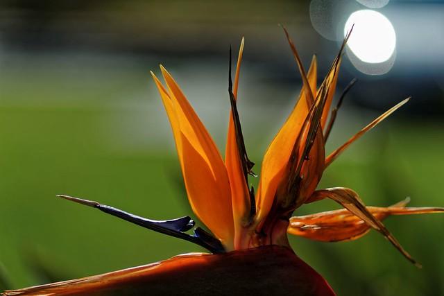 Strelitzia Bird of Paradise, Sony SLT-A99V, Tamron SP AF 90mm F2.8 Di Macro